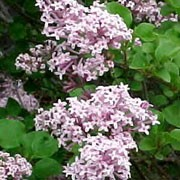 'Palibin' is a slow growing, deciduous, upright shrub with mid-green leaves. In late spring until early summer it has fragrant panicles of single, tubular, lilac purple flowers. They often repeat flower again in autumn. Syringa meyeri 'Palibin' added by Shoot)