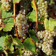 'Riesling' is a vigorous, woody vine that has green, lobed leaves and produces green-yellow grapes with flecks late in the season. It is suited to the coldest climates. Vitis vinifera 'Riesling' added by Shoot)