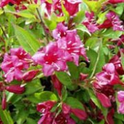 'Bristol Ruby' is a semi-evergreen, medium shrub with vigorous growth and an erect habit. It has green leaves and tubular, ruby-red flowers that bloom in spring.  Weigela 'Bristol Ruby'  added by Shoot)