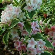 'Kosteriana Variegata' is a deciduous shrub with yellow and green variegated leaves. In late spring until early summer it has pink, tubular flowers.  Weigela 'Kosteriana Variegata' added by Shoot)
