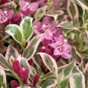 'Monet' is a small, deciduous shrub with green leaves edged in cream and tinged pink in spring and autumn. It has pink-purple, tubular flowers that bloom in early summer, with the possibility of a second bloom in late summer. Weigela florida 'Monet'  added by Shoot)