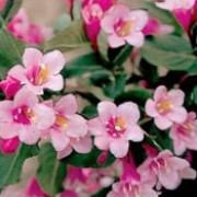 'Pink Poppet' is a dwarf, rounded, deciduous shrub with dark green, serrated leaves. In spring it has light pink tubular flowers, usually repeating again in late summer. Weigela florida 'Pink Poppet' added by Shoot)