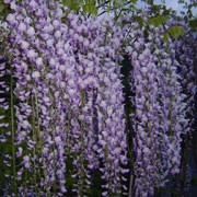 'Cascade' is an aggressive, deciduous vine with green, compound leaves. In early summer it has very long, drooping racemes of pink and mauve flowers. Wisteria floribunda 'Cascade' added by Shoot)
