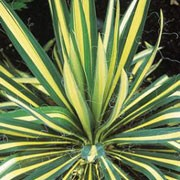 'Golden Sword' is a hardy, architectural perennial with sword-shaped leaves They have a golden-yellow stripe down the middle, surrounded by two mid-green stripes on either side. It rarely flowers, but the flowers are tall spikes carrying creamy, bell-shaped panicles. It will eventually form a cluster 5 rosettes wide. Yucca flaccida 'Golden Sword' added by Shoot)