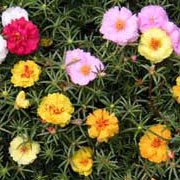 Portulaca grandiflora added by Shoot)