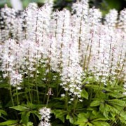 'Iron Butterfly' is an herbaceous perennial with deeply cut mid-green leaves with brown markings at their centres.  In spring, on slender stems, it bears spikes of tiny star-shaped, white flowers that may be followed by a second flush of flowering in summer. Tiarella 'Iron Butterfly' added by Shoot)