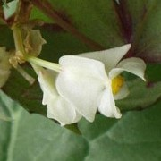 Begonia dregei added by Shoot)