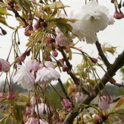 'Shogetsu' is a medium sized, ornamental tree with mid-green foliage that turns orange to red in the autumn. In spring it has pink buds that open to pendant clusters of white, fragrant, double flowers. Prunus 'Shogetsu' added by Shoot)