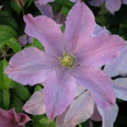 'Madame Baron Veillard' is a vigorous, deciduous, climbing shrub wth divided leaves and large, flat lilac-pink flowers from late summer to early autumn. Clematis 'Madame Baron Veillard' added by Shoot)