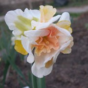 'Replete' is a bulbous perennial with strap-shaped, green leaves and double, trumpet-shaped, cream and pink flowers. Narcissus 'Replete' added by Shoot)