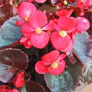 'Expresso Scarlet' has rounded bronze leaves and clusters scarlet red flowers. Begonia 'Expresso Scarlet' Expresso Series added by Shoot)