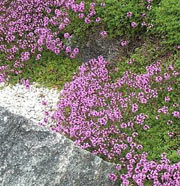 Thymus Coccineus Group