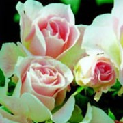 Jenny's Rose is a Floribunda rose.  It has mid-green, shiny leaves and from early summer to mid-autumn, it bears clusters of strongly-scented, pale-pink flowers. Rosa Jenny's Rose  added by Shoot)