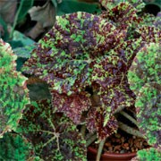 'Marmaduke' has oval light yellow-green leaves heavily blotched with reddish-brown, and clusters of small pale pink flowers. Begonia 'Marmaduke' added by Shoot)