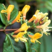 'Copper Beauty' is an evergreen climber with bronze new growth that turns green and fragrant, trumpet shaped, coppery-yellow flowers that bloom throughout summer. Lonicera 'Copper Beauty' added by Shoot)