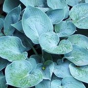 'Hadspen Blue' is a small, herbaceous perennial with grey-blue, smooth, heart-shaped leaves and pale purple, bell-shaped flowers in summer. Hosta tardiana 'Hadspen Blue' added by Shoot)