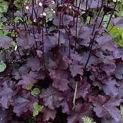 'Purple Mountain Majesty' forms a small mound of heart shaped, lobed, deep-purple leaves with silver marking and panicles of white, globular flowers on purple stems in summer. Heuchera 'Purple Mountain Majesty'  added by Shoot)
