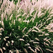 'Tall Tails' is a clump-forming grass with fine arching foliage.  In summer, it bears soft, tactile pink-flushed white flower heads that are longer than that of the species. Pennisetum orientale 'Tall Tails' added by Shoot)