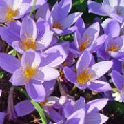 Crocus speciosus added by Shoot)
