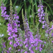 Linaria purpurea added by Shoot)