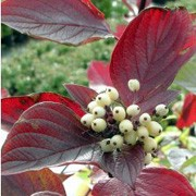 'Kesselringii' is a medium deciduous shrub producing a dense thicket of purple-black stems and green foliage. In summer is has small, flat, cream flowers followed by white berries and purple-red foliage in the autumn. Cornus alba 'Kesselringii' added by Shoot)