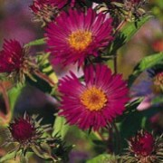 'September Ruby' is a tall, robust perennial with hairy green leaves and deep, ruby-red flowers yellow centres with in late summer and autumn.
