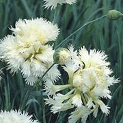 'Mrs. Sinkins' is an evergreen, mat-forming perennial with silver-green leaves and fragrant, double white, split calyx flowers that bloom from late spring until summer.  Dianthus 'Mrs. Sinkins' added by Shoot)