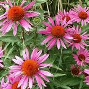 'Rubinstein' is an upright perennial with toothed, dark green leaves and large, bright pink flowers surrounding an orange cone in midsummer to mid-autumn. Echinacea purpurea 'Rubinstein' added by Shoot)