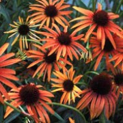 'Art's Pride' is a vigorous, upright perennial with toothed, dark green basal leaves and red-orange flowers with brown cones in midsummer to mid-autumn. Echinacea 'Art's Pride' added by Shoot)