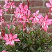'Sunset Dreams' is a compact, bushy perennial with small purple-flushed green leaves, red-flushed stems and large, deep pink flowers in summer and autumn. Gaura lindheimeri 'Sunset Dreams' added by Shoot)