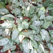 Argentea Group is a clump forming, herbaceous perennial with ovate, silvery leaves and leafy stems toped with red flowers that deepen to purple-violet in spring. Pulmonaria saccharata Argentea Group added by Shoot)