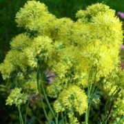 Thalictrum flavum  added by Shoot)