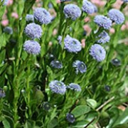 Globularia trichosantha added by Shoot)