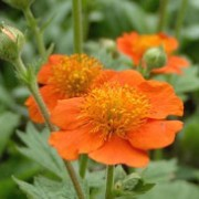 'Borisii' is a clump-forming perennial with upright, hairy, mid-green leaves and orange-red flowers on upright stems in late spring to late summer. Geum coccineum 'Borisii' added by Shoot)
