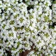 'Snowdrift' is a mat-forming, evergreen subshrub with small, aromatic, dark green leaves and clusters of white flowers in summer. Thymus serpyllum 'Snowdrift'  added by Shoot)