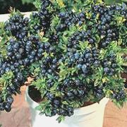 'Top Hat' is a compact, mound-forming, deciduous shrub with glossy, dark blue-green leaves that turn orange-red in autumn, clusters of white flowers in late spring and edible, blue berries in mid- to late summer. This variety is suitable for growing in containers. Vaccinium 'Top Hat' added by Shoot)