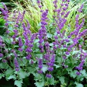 'Purple Rain' is a herbaceous perennial with an upright form. It has ovate, slightly hairy, mid-green basal leaves and in summer is topped with purple flowers. Salvia verticillata 'Purple Rain' added by Shoot)