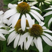 'White Lustre' is an upright, herbaceous perennial with green leaves and white daisy-like flower-heads with grey-yellow central disks.