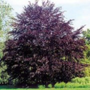 'Purpurea' is a large, upright, deciduous tree with a broad, spreading crown; elliptic leaves that emerge in spring colored black-red, turning purple-green and then to russet brown in autumn. It has small, green flowers, followed by bristly fruits. Fagus sylvatica 'Purpurea'  added by Shoot)