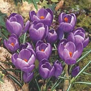 'Remembrance' is a cormous perennial with linear, semi-erect, silver-striped, mid-green leaves and shiny, violet flowers in spring to early summer. Crocus vernus 'Remembrance' added by Shoot)