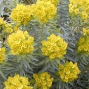 Euphorbia rigida added by Shoot)