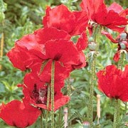 'Guardsman' is a clump forming, herbaceous perennial with erect, bristly and tooted, mid-green leaves and large, black centred, blood red flowers from late spring until summer.  Papaver orientale 'Guardsman' added by Shoot)