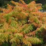 'Tiger Eyes' is a deciduous, suckering shrub with deeply dissected foliage that turns golden-yellow to orange and red in autumn. Yellow, erect panicles of green-yellow female flowers are followed by dense clusters of red fruit in autumn and through winter. Rhus typhina 'Tiger Eyes' added by Shoot)