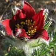 'Red Cloak' is a herbaceous perennial with soft, fine-cut, silver-green foliage and deep red flowers with yellow centres in early summer. Pulsatilla vulgaris 'Red Cloak' added by Shoot)