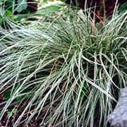 'Snowline' is a small, clump-forming, evergreen perennial with arching tufts of dark green, white-margined leaves and small, dark brown-purple flowers borne on slender stems in early summer. Carex conica 'Snowline' added by Shoot)