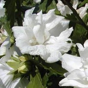'Admiral Dewey' is a vigorous, deciduous shrub with green, lobed leaves. From late summer to autumn it bears pure white, double flowers.