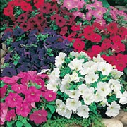 'Carousel Mix F1' is a trailing or spreading annual with sticky, hairy, mid-green leaves and dark purple, bright red, white or bright pink flowers in summer. This mix recovers quickly from rain. Petunia hybrida 'Carousel Mix F1' added by Shoot)