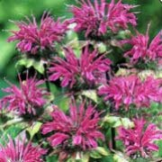 'Prairie Night' is an herbaceous perennial with lance-shaped, green, aromatic foliage. From mid-summer to early autumn, it bears whorls of purple flowers on upright stems.