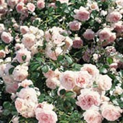 'Lovely Meidiland' is a vigourous, flowering shrub rose that can be used as a ground cover. It has deep-green foliage, and in summer it bears fragrant, soft pink flowers borne in clusters. Rosa 'Lovely Meidiland' added by Shoot)