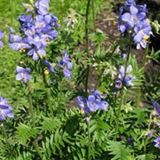 Polemonium caeruleum  added by Shoot)